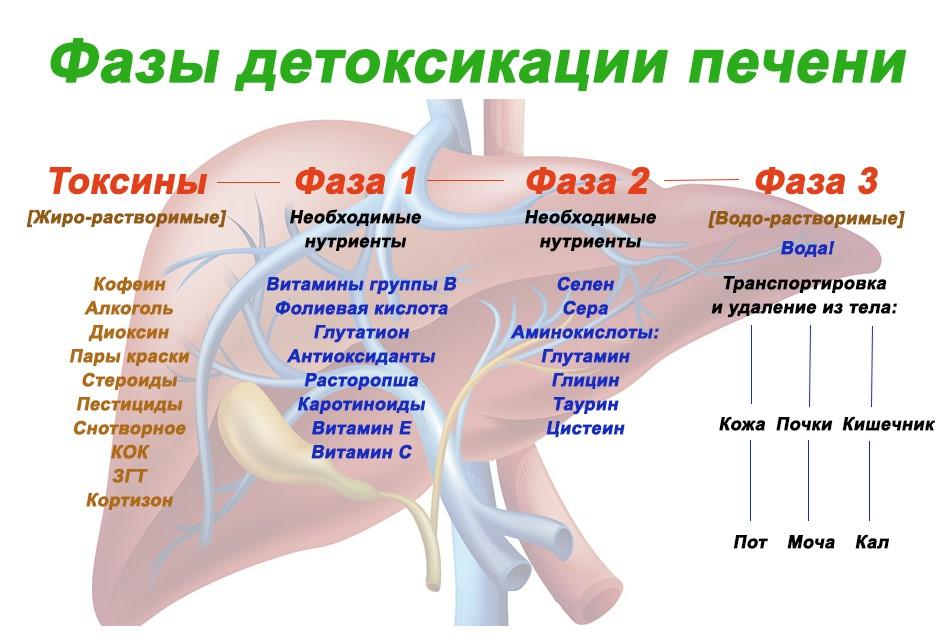 Фазы детоксикации печени